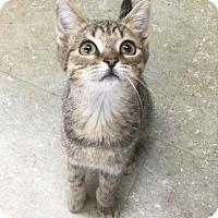 Adopt A Pet :: little Mr. Gula - Verona, NJ