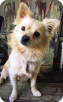 Pomeranian Mix Dog for adoption in Van Nuys, California - Louie