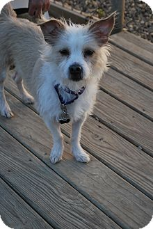 Terrier (Unknown Type, Small) Mix Dog for adoption in Berea, Ohio - Snowball