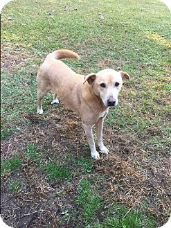 Labrador Retriever Mix Dog for adoption in Harrisville, Rhode Island - Lady