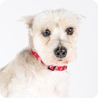 Standard Schnauzer Dog for adoption in St. Louis Park, Minnesota - Heidi