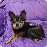 Adopt A Pet :: Radar - Hawk Point, MO