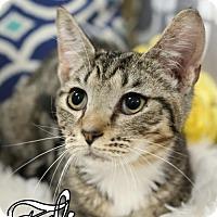 Adopt A Pet :: Eli Male Kitten - knoxville, TN