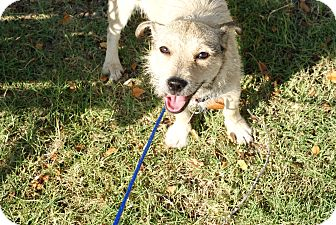 Jack Russell Terrier/Terrier (Unknown Type, Small) Mix Dog for adoption in Pocahontas, Arkansas - Hobo