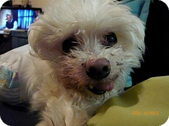 Maltese Dog for adoption in Long Beach, New York - Mini Mike