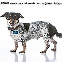 Dachshund Mix Dog for adoption in Bedford, Texas - Hudson