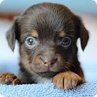 Adopt A Pet :: Chica's Pup- Kedzie - Romeoville, IL