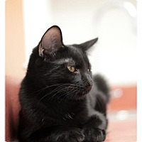 Domestic Shorthair Cat for adoption in Trenton, New Jersey - Vinnie