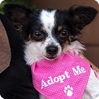 Adopt A Pet :: Sugar - San Marcos, CA