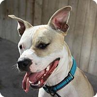 Adopt A Pet :: ARCHIE - Chandler, AZ