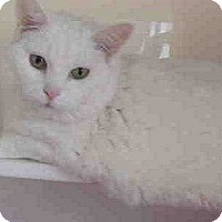 Adopt A Pet :: Cotton- BIG PERSONALITY - Herndon, VA