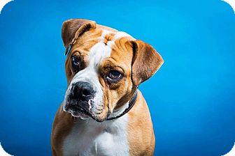 English Bulldog/Bulldog Mix Dog for adoption in Ottawa, Ontario - Lotto