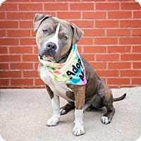 Adopt A Pet :: Dominick - Brooklyn, NY