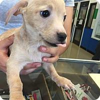 Adopt A Pet :: Luca - Claremont - Chino Hills, CA