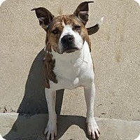 Pit Bull Terrier/American Staffordshire Terrier Mix Dog for adoption in Staunton, Virginia - Coco