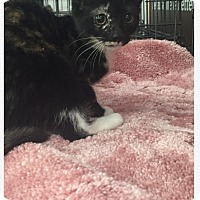 American Shorthair Kitten for adoption in Cerritos, California - Allie