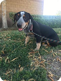 Cattle Dog/Hound (Unknown Type) Mix Puppy for adoption in Bakersfield, California - Loetta