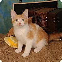 Domestic Shorthair Kitten for adoption in mishawaka, Indiana - Freddie