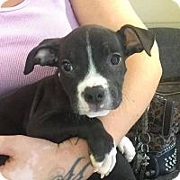 Adopt A Pet :: timone - Phoenix, AZ
