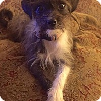 Terrier (Unknown Type, Small) Mix Dog for adoption in Strongsville, Ohio - Esti