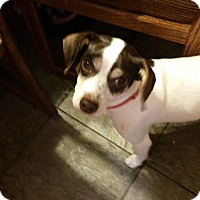 Jack Russell Terrier/Rat Terrier Mix Dog for adoption in Pasadena, California - Niko
