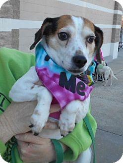 Beagle Mix Dog for adoption in Ashland, Virginia - Betsy-ADOPTED!!!