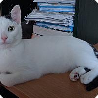 Domestic Shorthair Kitten for adoption in Toronto, Ontario - Alfie