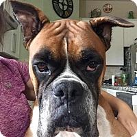 Adopt A Pet :: Flip - Hurst, TX