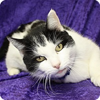 Domestic Shorthair Cat for adoption in Jackson, Michigan - Lucas