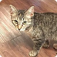 Domestic Shorthair Kitten for adoption in Santa Fe, Texas - Elianna