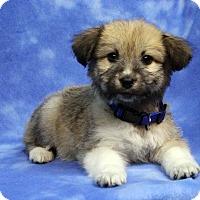 Adopt A Pet :: FIONA - Westminster, CO