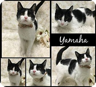 Domestic Shorthair Cat for adoption in Joliet, Illinois - Yamaha
