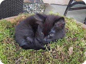 Domestic Shorthair Kitten for adoption in Wenatchee, Washington - Kona