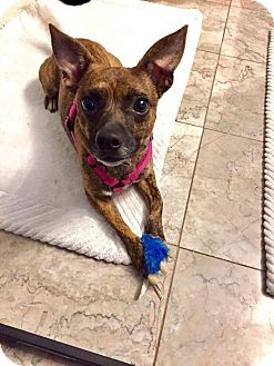 Chihuahua Mix Dog for adoption in chicago, Illinois - Doc