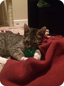 Domestic Shorthair Kitten for adoption in Des Moines, Iowa - Mutlu