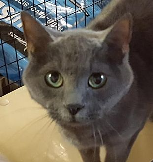 Domestic Shorthair Cat for adoption in Lovingston, Virginia - Maya