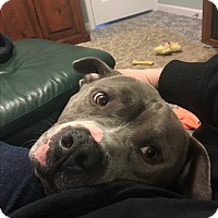 American Pit Bull Terrier Dog for adoption in Glastonbury, Connecticut - Snoop~adopted!