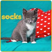 Adopt A Pet :: Socks - Cincinnati, OH