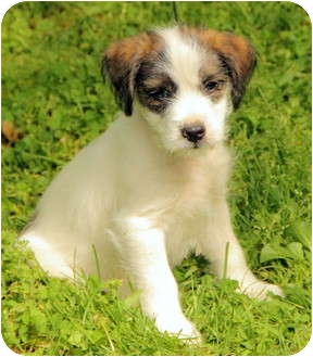 jack russell maltese mix alec adopted puppy dg windham nh maltese jack 824