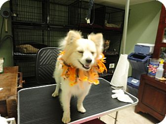 Pomeranian Mix Dog for adoption in Santa Rosa, California - Lance