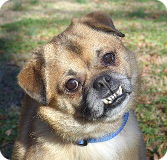 N.c. Pekingese Rescue Ewok | Adopted Dog | M...
