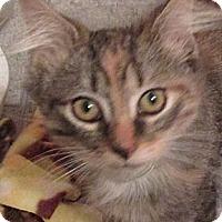 Adopt A Pet :: Kitten - Plattekill, NY