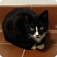 Domestic Shorthair Cat for adoption in Mount Laurel, New Jersey - Annabelle