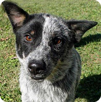 Maine Cattle Dog Rescue
