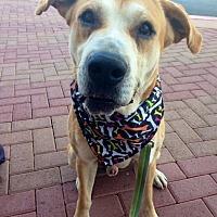 Adopt A Pet :: Dane ~ 5 yrs old - Phoenix, AZ