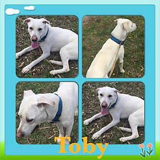 Labrador Retriever Mix Dog for adoption in waterbury, Connecticut - Toby