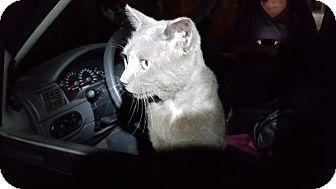 Russian Blue Cat for adoption in Orlando, Florida - Liam