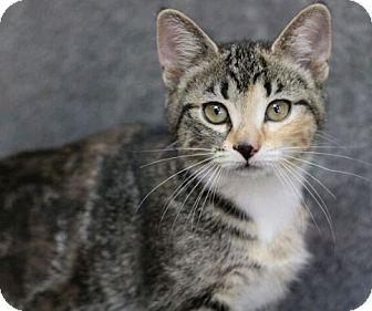 Domestic Shorthair Kitten for adoption in Raleigh, North Carolina - Terri L
