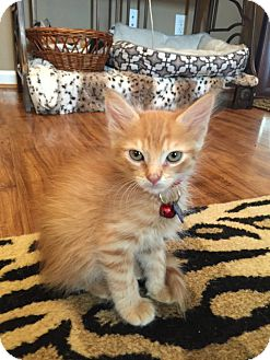 Domestic Mediumhair Kitten for adoption in Birmingham, Alabama - Bruno