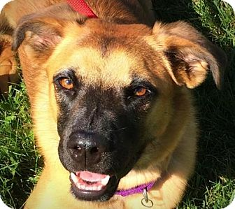 Shepherd (Unknown Type) Mix Dog for adoption in Indianapolis, Indiana - Captain